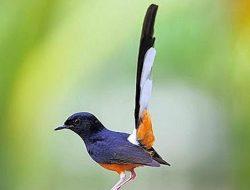 Pemuda Aceh Ternak Burung Murai Hasilkan Puluhan Juta, Simak juga Tips Beternaknya