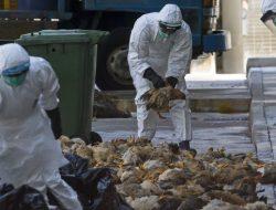 Usai Musnahkan 26 Juta Unggas, Kasus Flu Burung di Korsel Mulai Terkendali