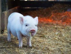 11 Kesalahan Fatal yang Kerap Dilakukan Peternak Babi Pemula