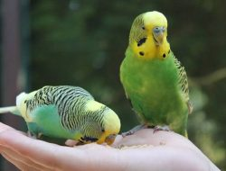 Kiat-kiat Lengkap Memelihara Burung di Rumah, dari Memilih Kandang, Pakan & Menjaga Kesehatannya