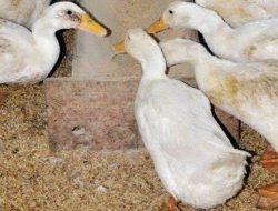 Peternak Itik Petelur di Pekanbaru Keluhkan Harga Pakan Naik, Imbasnya ke Harga Telur