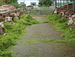 Babinsa Koramil 10/Simpang Jernih Kodim 0104/Aceh Timur Dampingi Pemberdayaan Penggemukan Sapi Warga