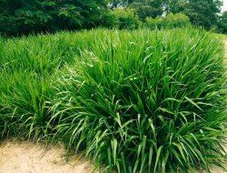 Peternak Panen Rumput Odot di Lahan Pusat Kesehatan Hewan Bangkalan Madura