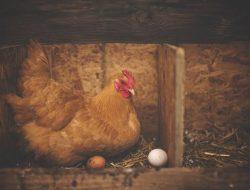 Produk Telur Lokal Berpotensi Besar Tembus Pasar Ekspor