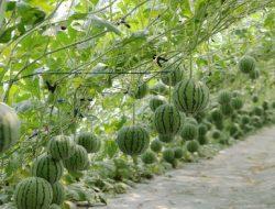 Unik, Korea Kembangkan Semangka Manis Berukuran Seperti Apel