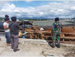 92 Ekor Sapi yang Diamankan TNI AL di Bima Dipulangkan Kembali ke Flores
