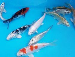 9 Jenis Ikan Koi yang Banyak Diminati dan Dianggap Membawa Peruntungan