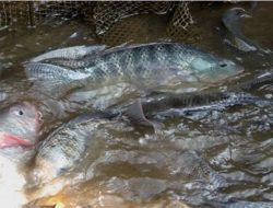 Penuhi Permintaan Rumah Makan, Pembudidaya Ikan Nila Ini Raup Jutaan Rupiah Sekali Panen