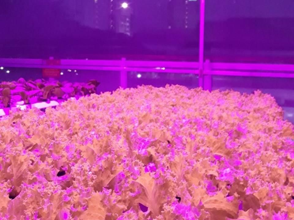 Kebun Hidroponik Rooftop PLN Bandung yang Sedang Disinari Sinar UV