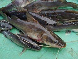 Ikan Baung, Kerabat Ikan Lele yang Juga Bisa Hasilkan Cuan, Ini Cara Budidayanya