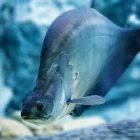 Ikan Belida