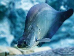 Kini Ikan Belida dan Ikan Balashark Tidak Boleh Dikonsumsi