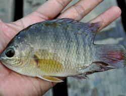 Ikan Nila yang Sering Ditebar Pemerintah di Perairan Umum Dianggap Mengganggu Populasi Ikan Lokal
