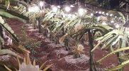 Contoh Penerapan Lampu di Kebun Buah Naga