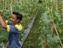 SMK di Lombok Barat Bisa Raup Jutaan Rupiah dari Budidaya Golden Melon