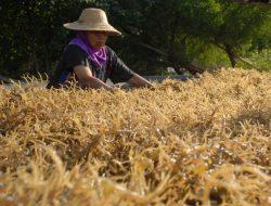Indonesia Eksportir Rumput Laut Terbesar Tapi Masih Impor Hasil Olahannya