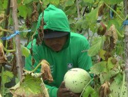 Melon Dalmation, Buah Asal Korea yang Sukses Dibudidayakan Petani Kota Probolinggo