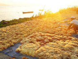 DKP Papua Optimis Jadikan Kampung Sarwandori Sebagai Sentra Budidaya Rumput Laut
