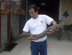 Misi Penyelamatan Ikan Sidat di Sungai Poso