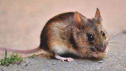 Unik! Peternak Tikus di Thailand Beromset Rp34 Juta Perbulan