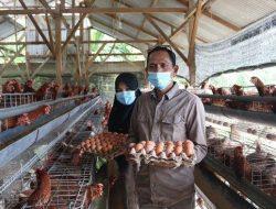 Panen Perdana Telur Ayam BUMG Usaha Bersama, Bupati Aceh Selatan Harap Kecamatan Lain Meniru