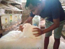 Pemuda Pangandaran Beternak Kelinci Hias Omzet Puluhan Juta hingga Ekspor ke Korea