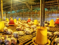 Belum Selesai Harga Pakan, Peternak Risau Rencana Importasi Ayam Brasil