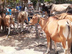 Peternak Sapi Mandiri di Jembrana Tak Setuju Asuransi Hanya untuk Kelompok Ternak