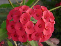 Bunda Patut Coba, 4 Langkah Sederhana Menanam Euphorbia di Rumah