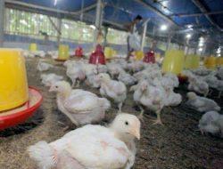 Kementan: Alokasi Impor GPS Ayam DOC Sudah Sesuai Kalkulasi