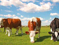 Ingin Dalami Ilmu Peternakan sekaligus Jadi Pengusaha Ternak? Ini Rekomendasi Kuliah S1 Peternakan