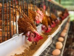 Kemendag Dorong Industri Peternakan Ayam Ras yang Terintegrasi, Untungkan Peternak dan Konsumen