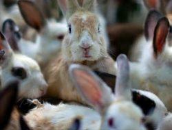 Permintaan Bibit Kelinci di Magelang Meningkat di Masa Pandemi