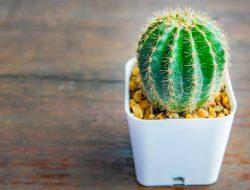 Begini Cara Menyiram Kaktus yang Benar, Simak Langkah-langkahnya