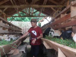 Awalnya Hanya Dua Ekor Domba, Peternak Milenial Purwakarta Ini Kini Punya 60 Ekor