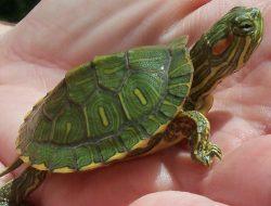 Simak 5 Hal Mendasar Sebelum Memilih Kura-kura sebagai Hewan Peliharaan