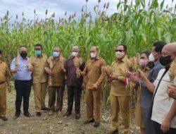 NTT Kembangkan Sorgum sebagai Pakan Ternak