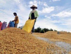 Harga Gabah Petani di Blora Anjlok, Hanya Rp 3.500 per Kilogram