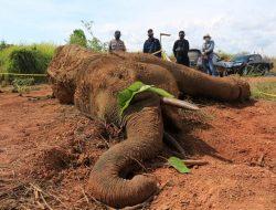 Satwa Langka Gajah Sumatera Ditemukan Mati, Diduga Infeksi pada Kaki