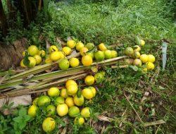 Jeruk Petani di Lembang Dibiarkan Membusuk di Kebun, Ini Alasannya