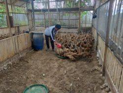 Mahasiswa Sukses Beternak Itik, Dimulai Sejak Masih Duduk di Bangku Sekolah
