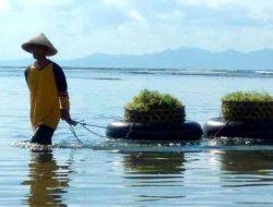 Petani Rumput Laut di Nusa Penida Dihantui Hama dan Fluktuasi Harga
