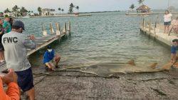 Hiu Gergaji Raksasa Ditemukan di Florida, Ilmuwan: Ini yang Terbesar