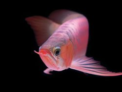 Bisnis Ikan Arwana Super Red Kian Moncer, Simak Penjelasan Para Pakar