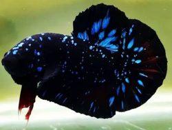 Ikan Cupang Avatar, Jenis Paling Diburu di Dunia Percupangan