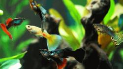 Mengenal Jenis Ikan Guppy Lokal dan Cara Merawatnya