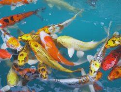Jangan Salah Pilih, Ini 9 Cara Memilih Ikan Koi yang Berkualitas Baik