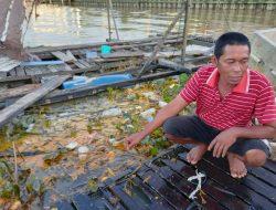 Minyak Sawit Tumpah di Sungai Mahakam, 100 Kg Lebih Ikan Petambak Ini Mati Mengapung
