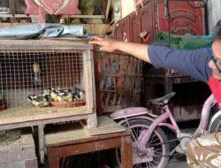 Panjul Untung Belasan Juta dari Beternak Ayam Bangkok
