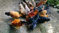 Beternak ayam kampung secara sederhana